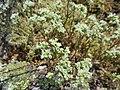 Scleranthus perennis inflorescence (28).jpg