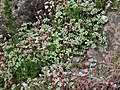 Scleranthus perennis plant (02).jpg