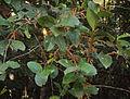 Scleropyrum pentandrum or Scleropyrum wallichianum 01.JPG