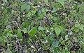 Sclerotinia sclerotiorum at Phaseolus vulgaris, sclerotiënrot stamsperzieboon (01).jpg