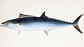 Scomberomorus niphonius Naturalis Biodiversity Center - RMNH.ART.192 - Scomberomorus nichonius (Cuvier) - Kawahara Keiga - 1823 - 1829 - Siebold Collection - pencil drawing - water colour.jpeg