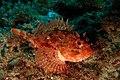 Scorpaena porcus (black scorpionfish, Brauner Drachenkopf) (22052898998).jpg