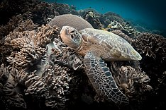 Sea turtle sitting on coral looking at camera