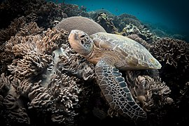 Sea Turtle in Apo Island.jpg