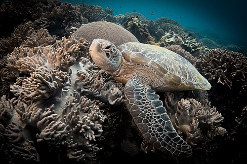 Sea Turtle in Apo Island.jpg