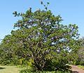 Searsia chirindensis, habitus, c, Pretoria NBT.jpg