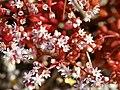 Sedum caeruleum (plants).jpg