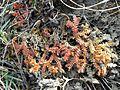 Selaginella helvetica sl2.jpg