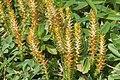 Selaginella selaginoides (Alpen-Moosfarn) IMG 1053.jpg
