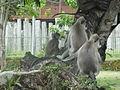 Semnopithecus priam (Anuradhapura) 10.JPG