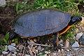 Seney National Wildlife Refuge - Wildlife (9705292702).jpg