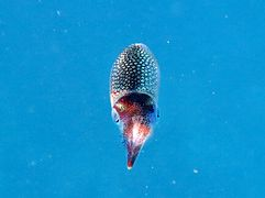 A reef squid (Sepioteuthis lessoniana)