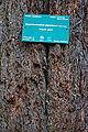 Sequoiadendron giganteum-DSC 7317.jpg