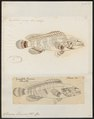 Serranus brunneus - - Print - Iconographia Zoologica - Special Collections University of Amsterdam - UBA01 IZ12900166.tif