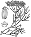 Seseli montanum illustration (01).png
