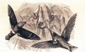 Sesia titan e beija-flor (Bates 1863).png