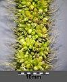Setaria italica subsp. italica sl32.jpg