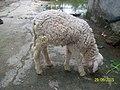 Sheep100 2729.jpg