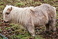 Shetland Pony. (under 4ft tall) - Flickr - gailhampshire.jpg
