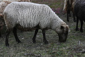 An Act against Plowing by the Tayle, and pulling the Wooll off living Sheep - A Northern European short-tailed sheep of the type formerly common in Ireland. They moult in summer, and wool can be plucked instead of being sheared.