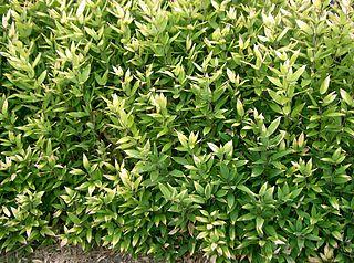 <i>Shibataea</i> genus of plants