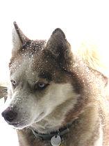 Siberianhusky6.jpg
