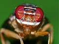 Signal Fly (Platystomatidae) close-up (15283020268).jpg