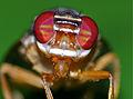 Signal Fly (Platystomatidae) close-up (15283020268).jpg