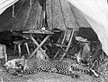 Sir David Bruce; leopard at tent door. Wellcome L0022676.jpg