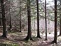 Sitka spruce Vikna Norway.JPG