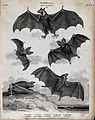 Six nocturnal mammals of the order Chiroptera. Line engravin Wellcome V0020570.jpg