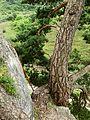 Skalný strom -) - panoramio.jpg