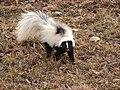 Skunk2 (6330277345).jpg
