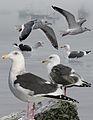 Slaty-backed Gull From The Crossley ID Guide Eastern Birds.jpg