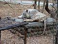 Sleeping White Tiger 1.jpg