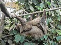 Sloth at Amazon World Zoo.JPG