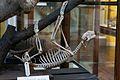 Sloth skeleton. (6915988817).jpg