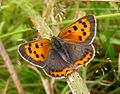 Small Copper. Lycaena phlaeas. - Flickr - gailhampshire.jpg