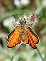 Small Skipper (34665912834).jpg