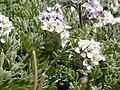 Smelowskia calycina (5006013497).jpg