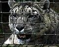 Snow Leopard (2316000234).jpg