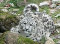 Snow leopard Mohan.jpg