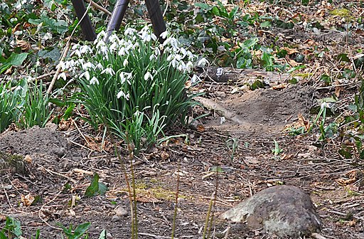 Snowdrops at Forest Farm - geograph.org.uk - 1748001