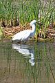 Snowy Egret (9411686787).jpg