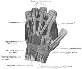 Juncturae tendinum - Juncturae tendinum are seen between the tendons of the extensor digitorum communis.