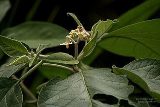 Solanum - Solanum erianthum