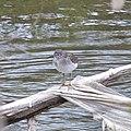 Solitary Sandpiper (Tringa solitaria) - Guelph, Ontario 2020-05-16.jpg