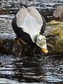 Somateria fischeri (Spectacled Eider - Plueschkopfente) - Weltvogelpark Walsrode 2012-14.jpg