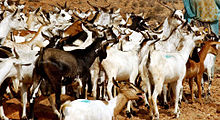 Somaliland:The goat economy - Somalilandpress Somalilandpress