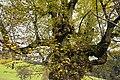 Sommerlinde in Arriach Stadt Nr. 11 Kraftbaum.jpg